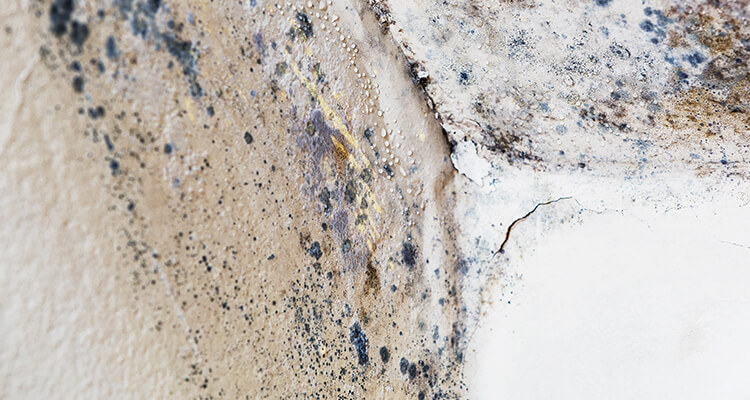 What if I Have Mold in My House or Business Mold FAQs   Amerestore Mold Removal